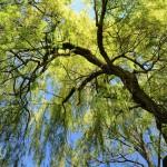 Salix (energiskog)
